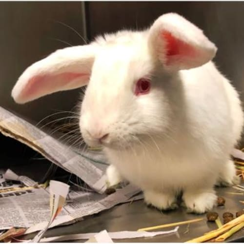 Astro  910557 - Mini Lop Rabbit