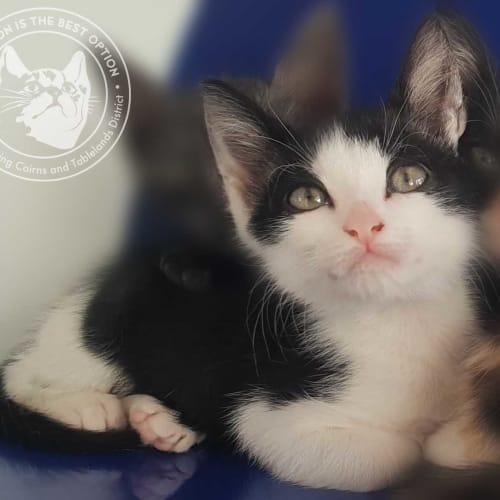 Harry James - Domestic Short Hair Cat