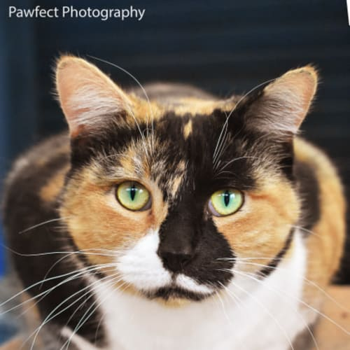 Honey - Domestic Short Hair Cat