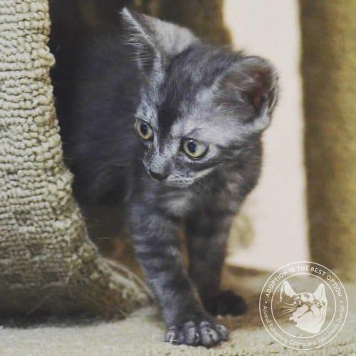 Hughey - Domestic Short Hair Cat