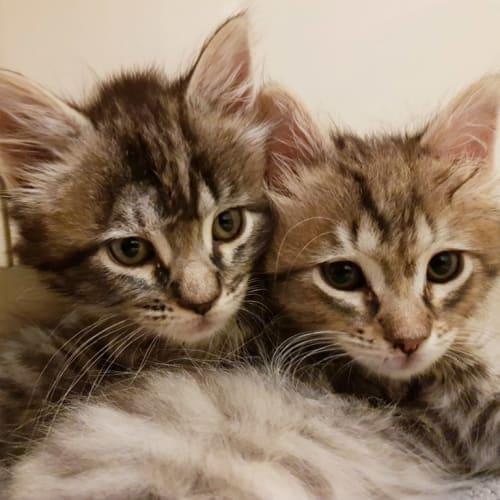 Phileas - Domestic Medium Hair Cat
