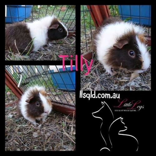 Tilly - Guinea Pig