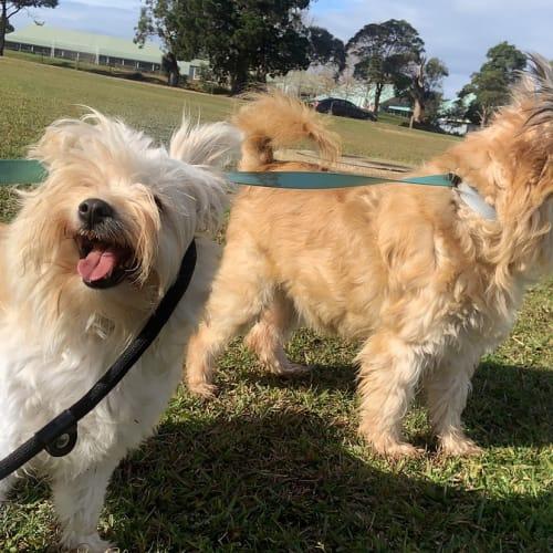 Turbo & Snow - Pomeranian x Silky Terrier Dog