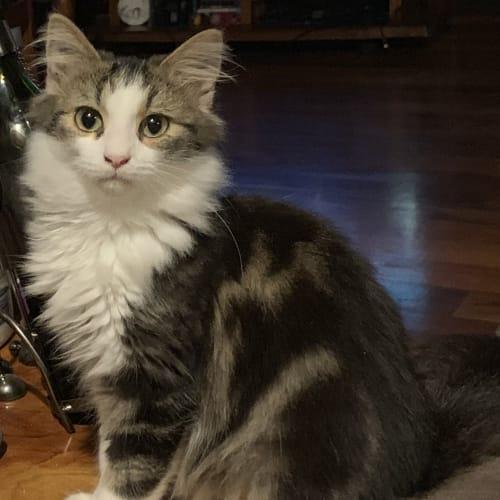 Clyde - Domestic Long Hair x Siberian Cat