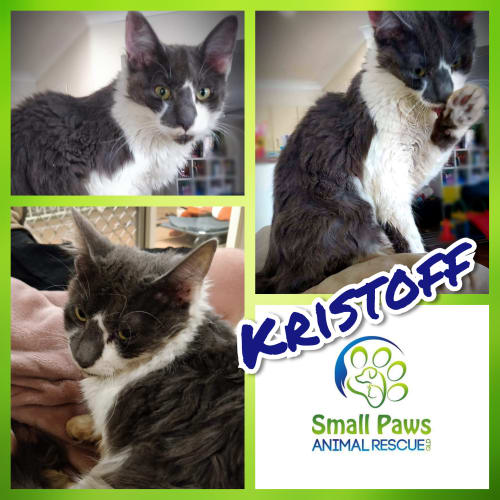 Kristoff - Domestic Medium Hair Cat
