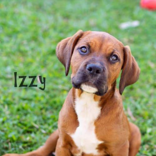 Izzy - Boxer x Labrador x Mastiff x Rottweiler Dog