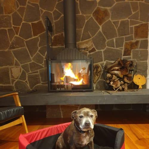 Stan - Staffordshire Bull Terrier Dog