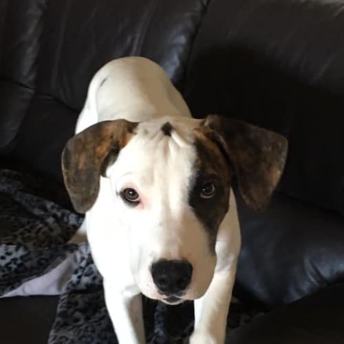 Luca - Great Dane Dog