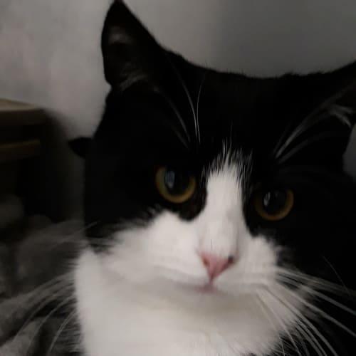 Janji - Domestic Short Hair Cat