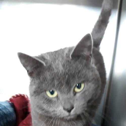 Soloman - Domestic Short Hair Cat