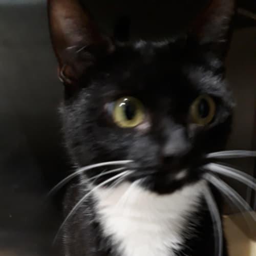Clawdia - Domestic Short Hair Cat