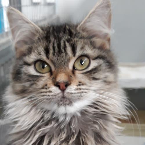 Josephine - Domestic Medium Hair Cat