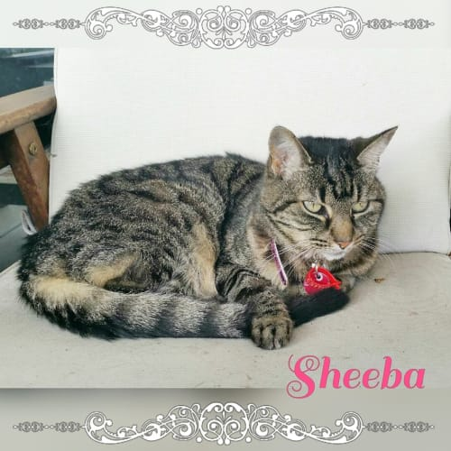 Sheeba - Domestic Short Hair Cat