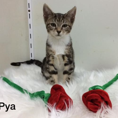 Pya - Domestic Short Hair Cat