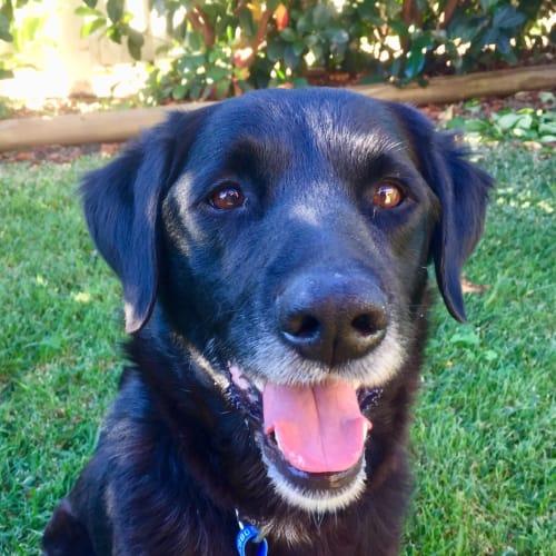 James ~ Border Collie x Lab - Border Collie x Labrador Dog