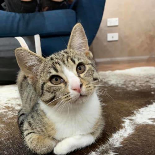 Mason - Domestic Short Hair Cat