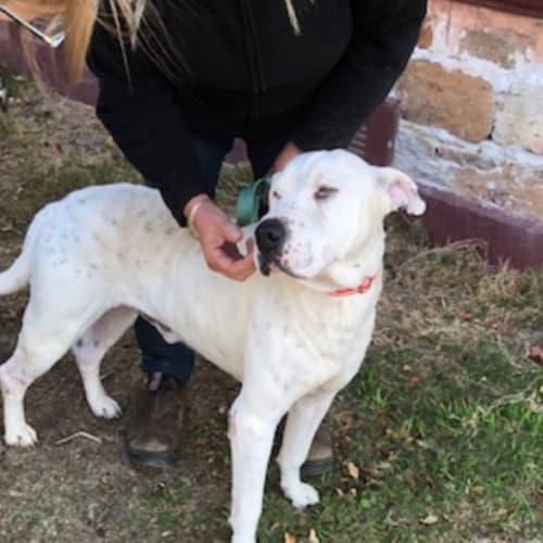Charles  - Bull Terrier x Cross breed Dog