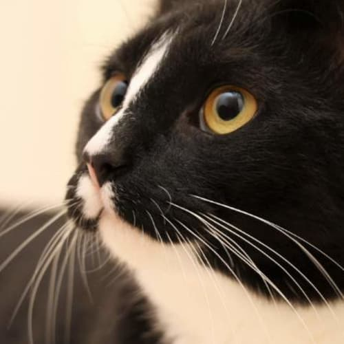 Staples - Domestic Short Hair Cat