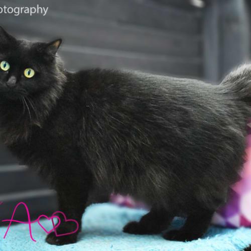Ava - Domestic Medium Hair Cat