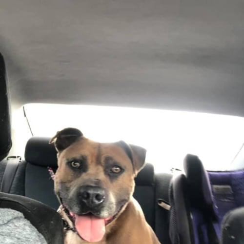 Boss - American Staffordshire Terrier Dog