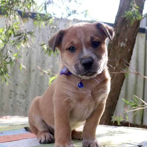 Carlton - Australian Stumpy Tail Cattle Dog