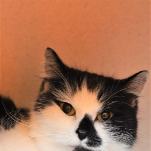 Primrose - Domestic Medium Hair Cat