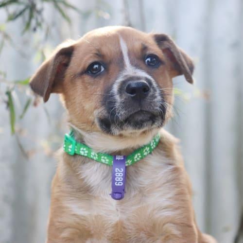 Hahn - dog of the week! - Australian Stumpy Tail Cattle Dog