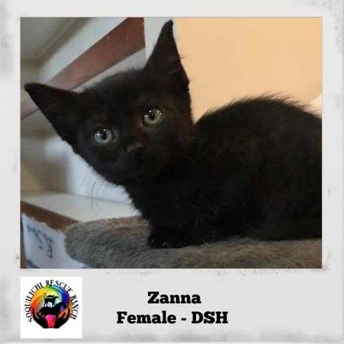 Zanna - Domestic Short Hair Cat