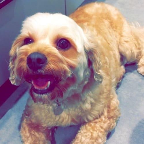 Henry (& Walter) - Cavalier King Charles Spaniel x Poodle Dog