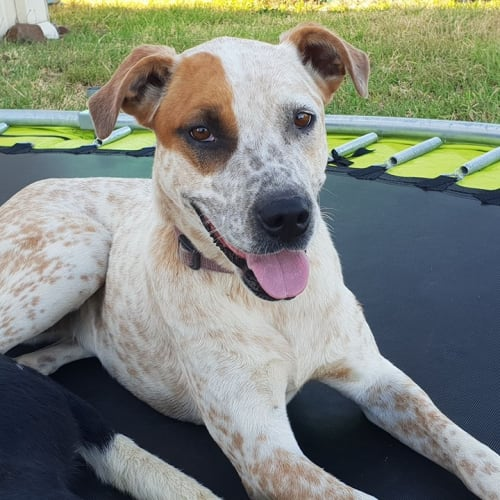 Rae - Australian Cattle Dog