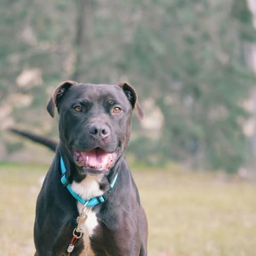 Charlie - American Staffordshire Terrier Dog