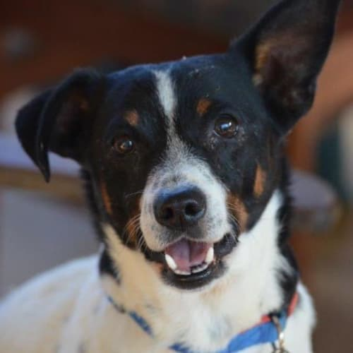 Croydon - Jack Russell Terrier Dog