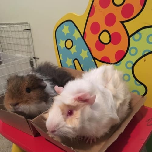 Rocket and Cricket (indoor home preferred) - Abyssinian x Texel Guinea Pig