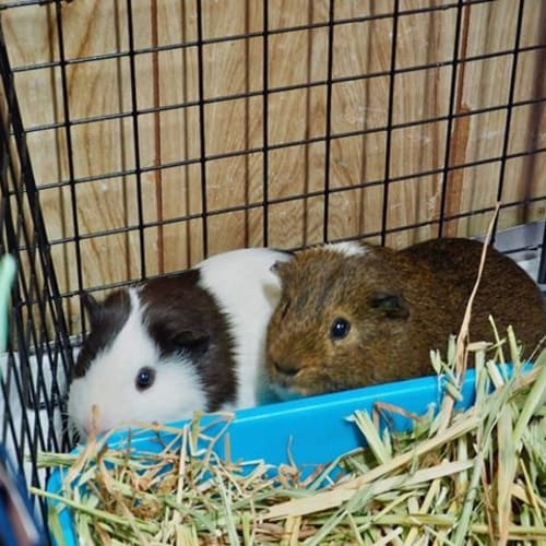 Barney and Buster - Guinea Pig