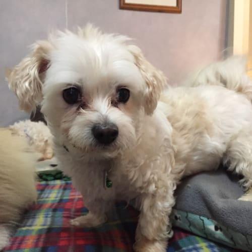 Noah - Maltese Dog