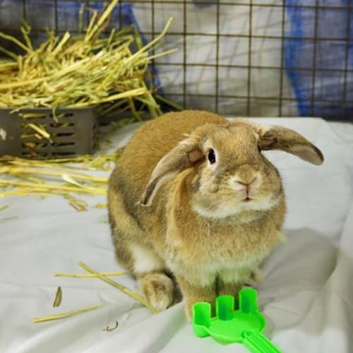 Peanut - Dwarf lop Rabbit