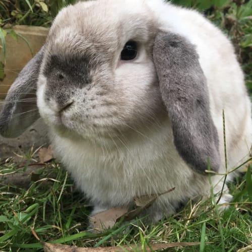 Polly - Mini Lop Rabbit