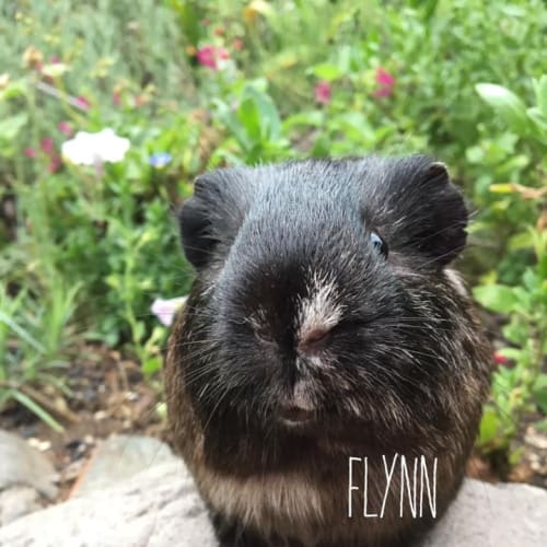 Flynn - Smooth Hair Guinea Pig