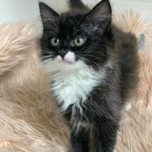 Sheridan - Domestic Medium Hair Cat