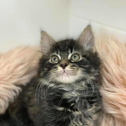 Yaz - Domestic Medium Hair Cat