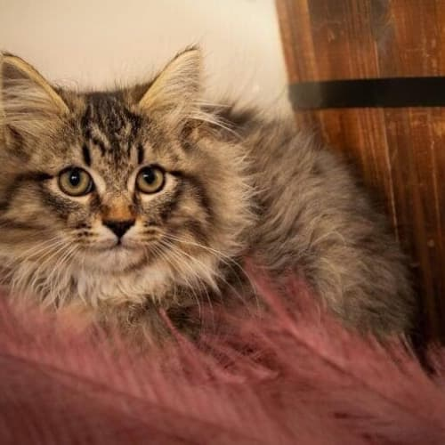 1167 - Monty - Domestic Medium Hair Cat