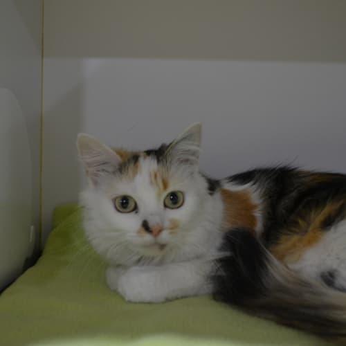 Rosie - Domestic Long Hair Cat