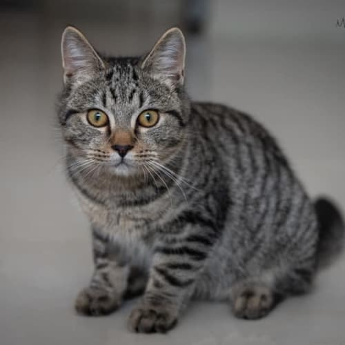 1103 - Tommy - Domestic Short Hair Cat
