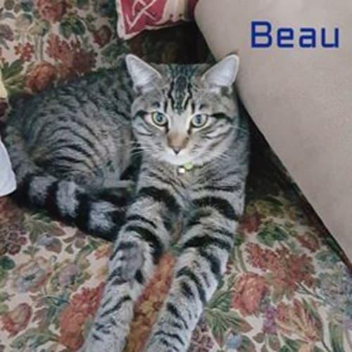 Beau - Domestic Short Hair Cat