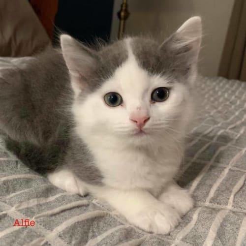 Alfie - Domestic Short Hair Cat