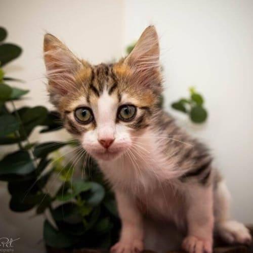 996 - Snowy - Domestic Short Hair Cat