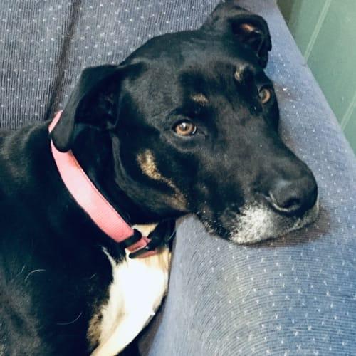 Coco - Mastiff Dog