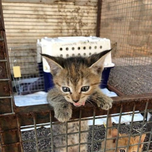 Pinki - Domestic Short Hair Cat