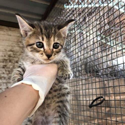 Plum - Domestic Short Hair Cat