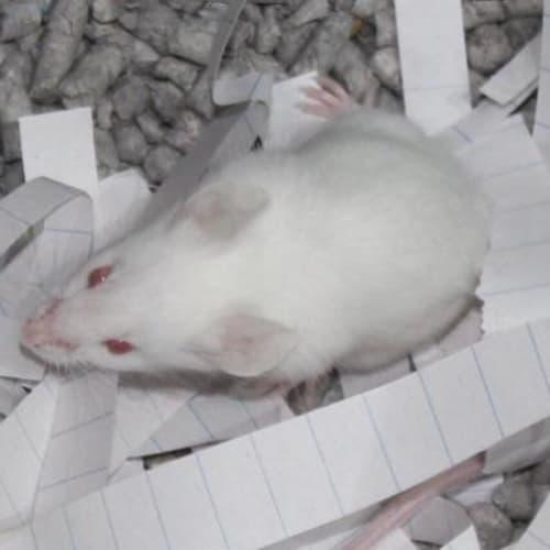 Angelina - Mouse